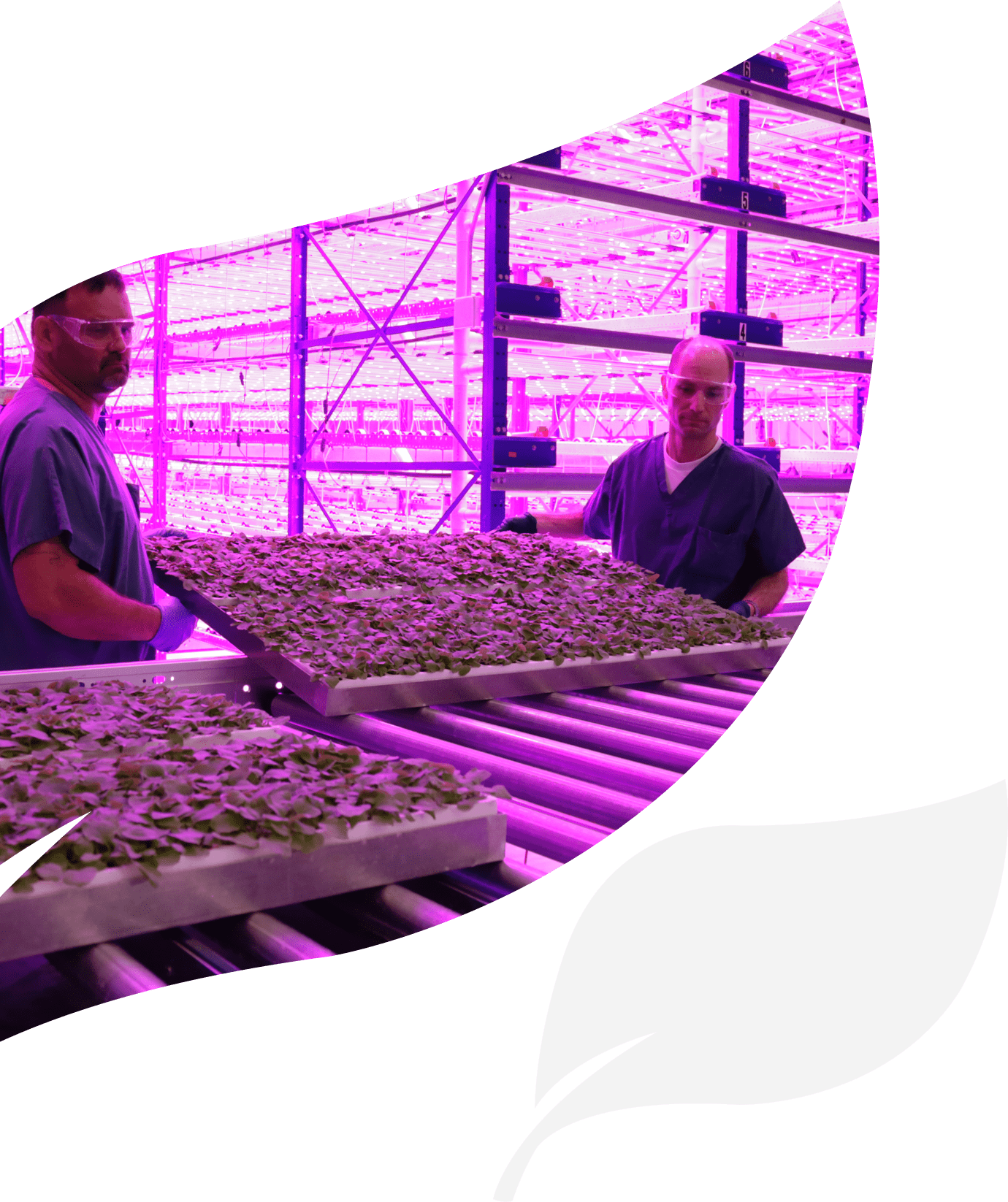 two manufacturing staff members moving a tray of plants used in iBio's facility for CDMO services