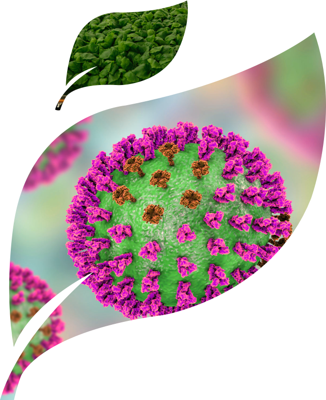 Photograph of plants used for the production of virus-like particles, and a computer-generated model of a virus-like particle